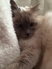 Luna - our beautiful ragdoll cat.